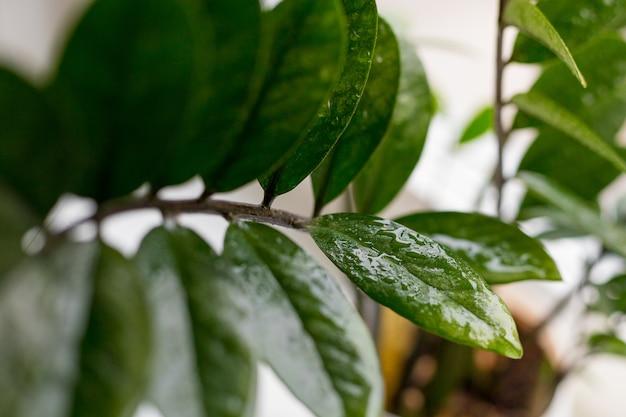 Замиокулькас замифолистный - долларовое дерево. жемчужина занзибара дерево называют благоприятным. концепция домашнего садоводства. выборочный фокус.