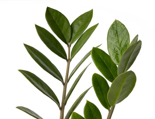 Zamioculcas zamifolia или aroid palm или arum папоротник экзотические зеленые листовые комнатные растения, изолированные на белом фоне с обтравочным контуром