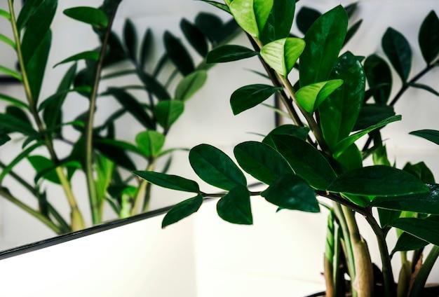 Zamioculcas zamifolia или завод растений в занзибаре в ванной комнате