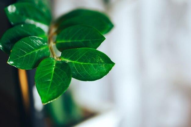 光のバスケットの植木鉢にzamioculcasの植物。写真を閉じます。 zamioculcasの葉。抽象