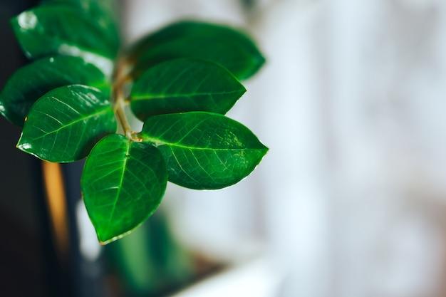 Завод zamioculcas в цветочном горшке корзины на свете. крупным планом фото. листья замиокулькас. аннотация
