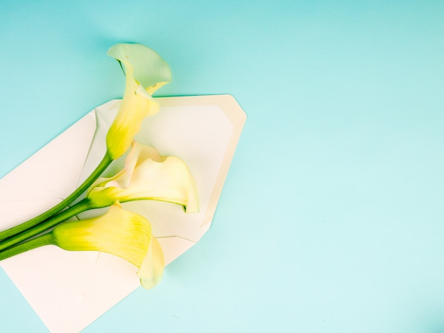 オランダカイウの花封筒、コピースペースと青色の背景にzantedeschia