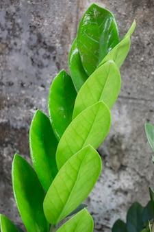 식물 냄비에 잔지바르 보석