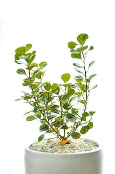 ザミオクルカスは家の中に植えることができる観賞用の木です