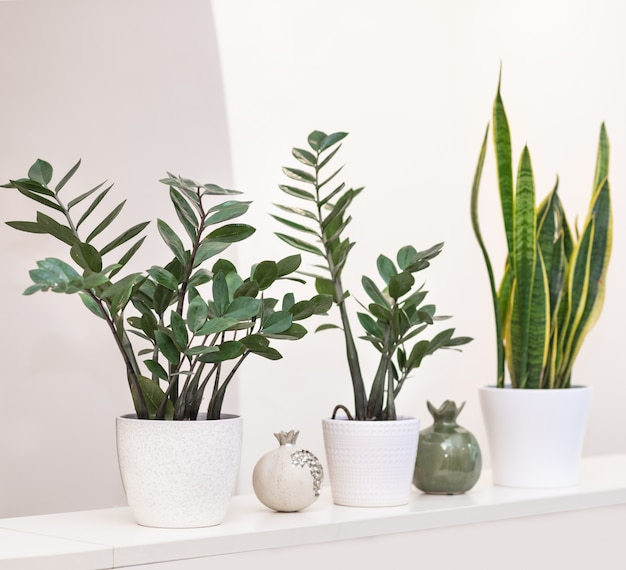 ザンジバルジェム、ザミオクルカス、サンセベリア植物