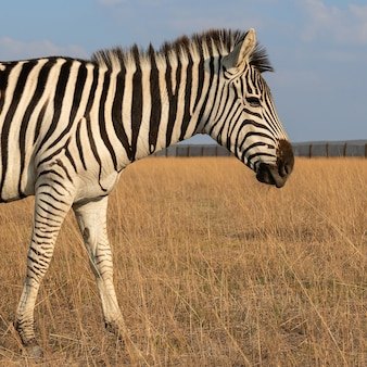 Zebra african herbivore animal on the steppe close up