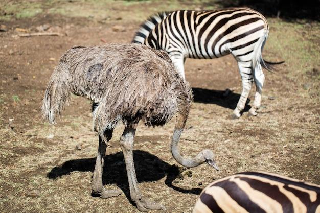 Зебра и страус в дикой природе. маврикий.