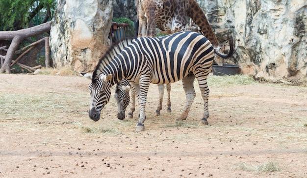 タイのオープン動物園で緑豊かな公園でシマウマ