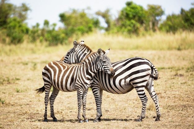 Zebra couple in africa savannah. masai mara national park, kenya