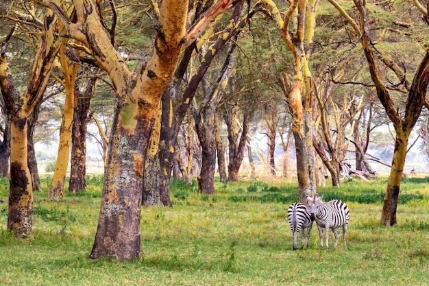 나이바샤 호수 근처 아프리카 사바나에 있는 얼룩말 부부. 케냐, 아프리카.