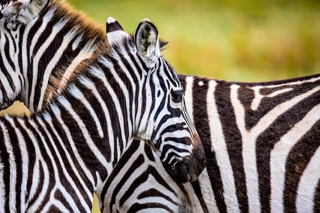 アフリカのサバンナのシマウマのカップル