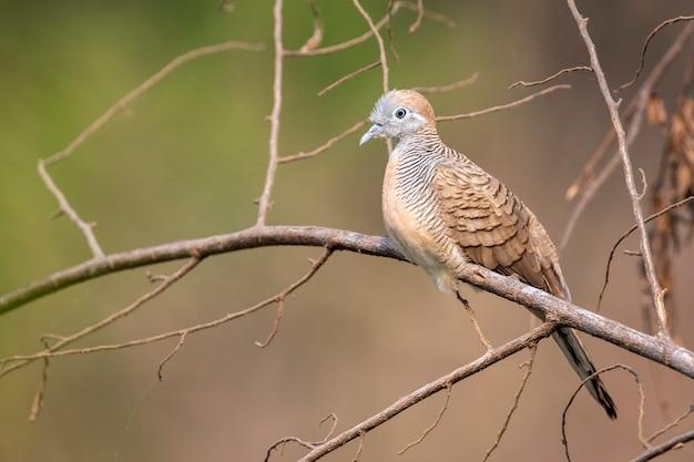 Zebra dove on a branch on nature scene. animal. birds.