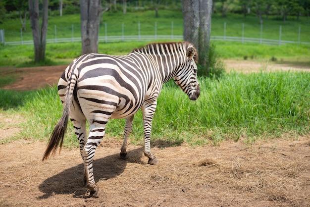 Зебра ест сухую траву в клетке в зоопарке