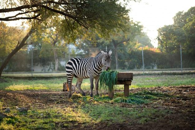 動物園で草を食べるシマウマ
