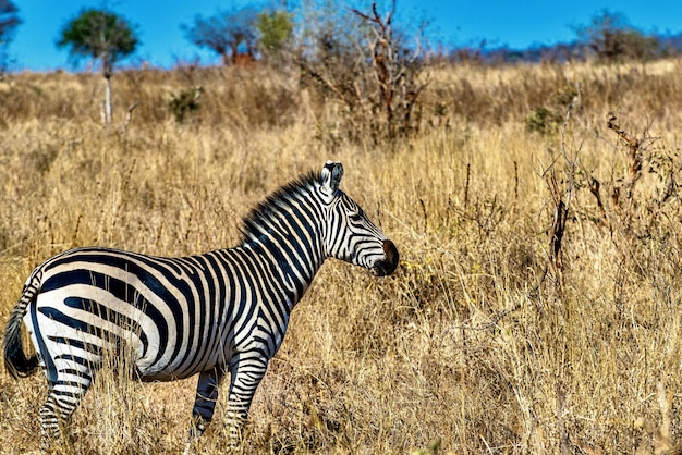 Zebra in a field covered in the grass under the sunlight and a blue sky