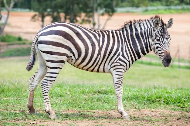 Zebra in the fields