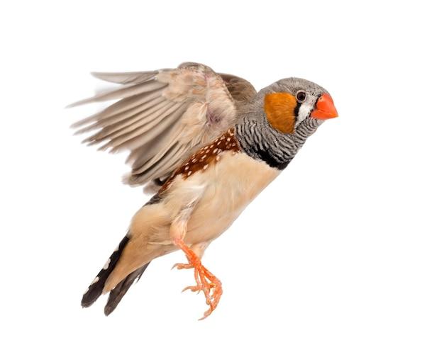 キンカチョウの飛行、taeniopygia guttata、空白に対して
