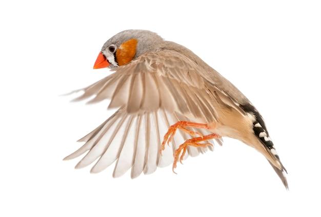 얼룩말 핀치 비행, taeniopygia guttata, 흰색 표면에 대해
