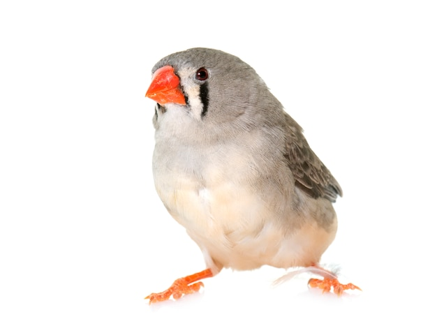 Zebra finch isolated