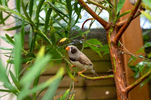 Зебра зяблик от taeniopygia guttata маленькая птица сидит на ветке на открытом воздухе