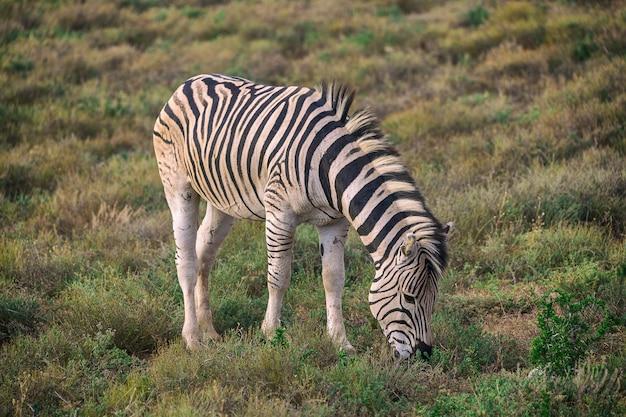 南アフリカのアッド国立公園で草を食べるシマウマの子馬