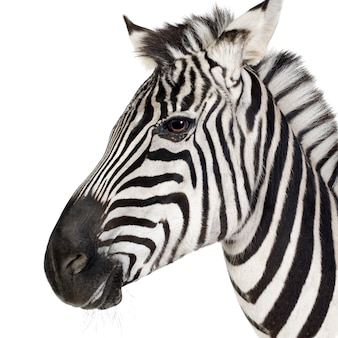 Zebra in front on a white isolated
