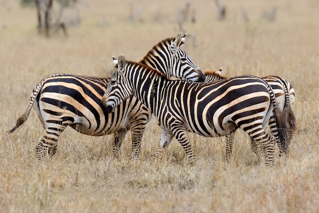 Zebra su prati in africa, parco nazionale del kenya