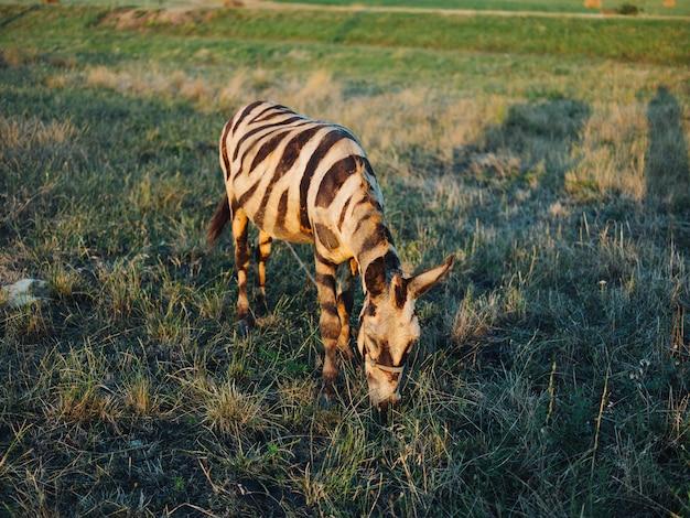 Зебра пасется на лугу ест траву сафари парк животных африка