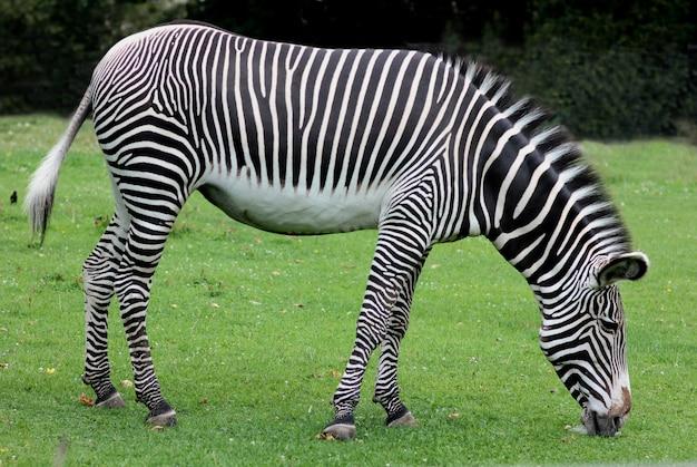 Зебра, пасущаяся на лужайке