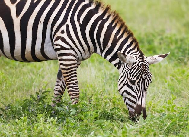 Zebra al pascolo nel parco nazionale orientale di tsavo, kenya