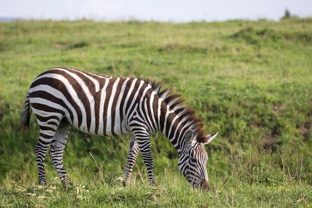 A zebra in the green landscape of a national park in kenya