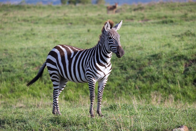 A zebra in the green landscape of a national park in kenya