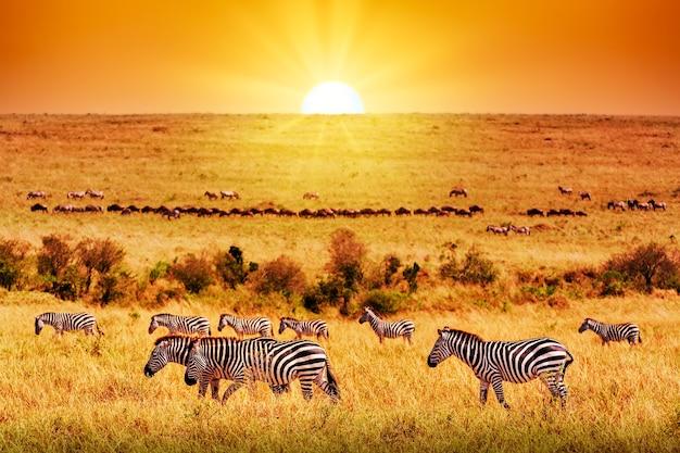アフリカのサバンナで素晴らしい夕日を眺めるシマウマのグループ。セレンゲティ国立公園、タンザニア。野生の自然アフリカの風景とサファリの概念。