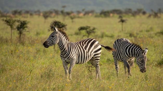 シマウマの群れ、アフリカ