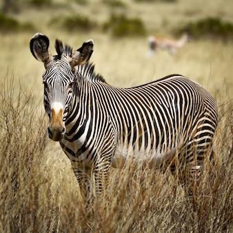 Zebra im in samburu nationalpark