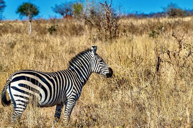 Зебра в поле, покрытом травой под солнечным светом и голубым небом