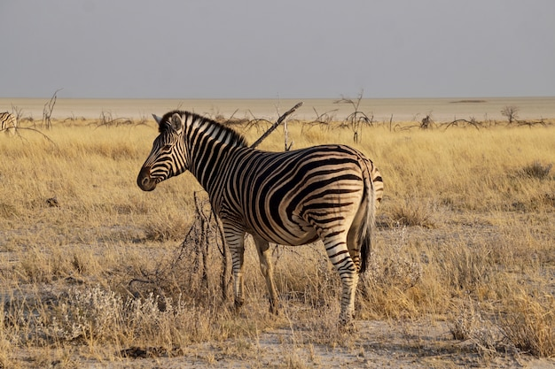 Зебра в национальном парке этоша - намибия