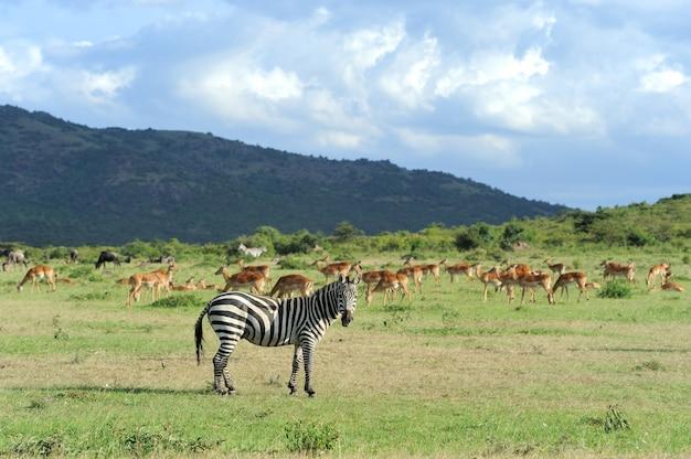 국립 공원에서 얼룩말. 아프리카, 케냐