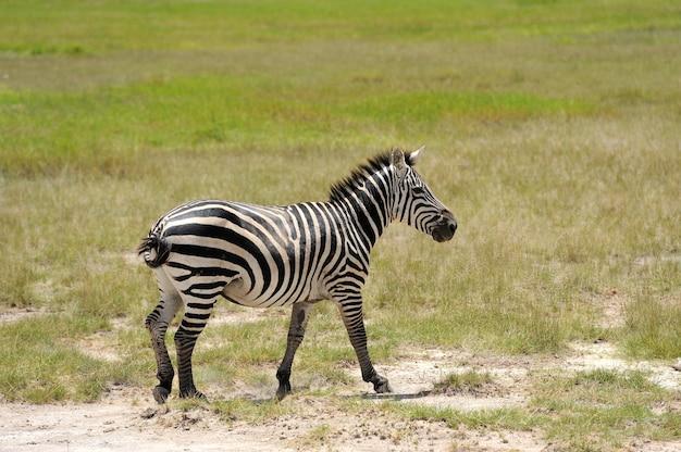 국립공원의 얼룩말. 아프리카, 케냐