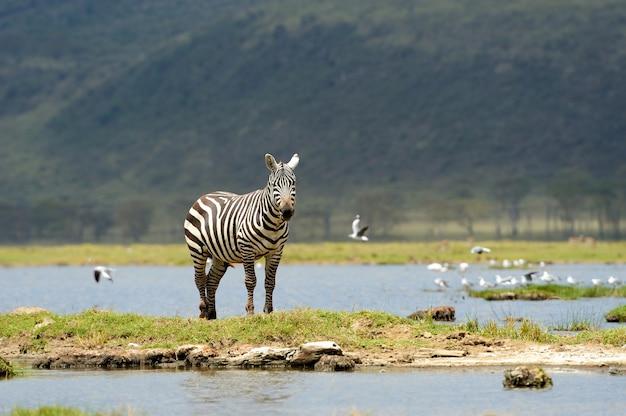 Зебра в национальном парке