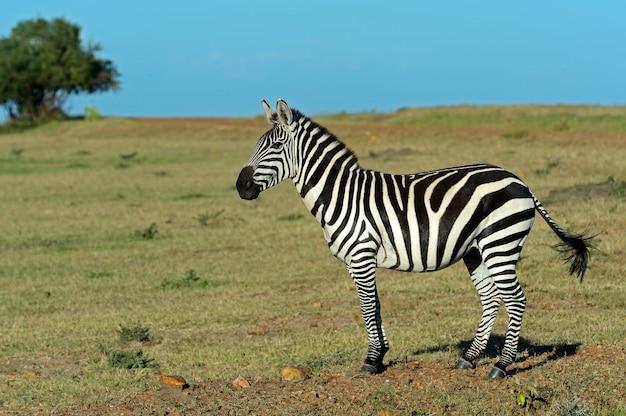 Зебра в национальном парке амбосели. кения