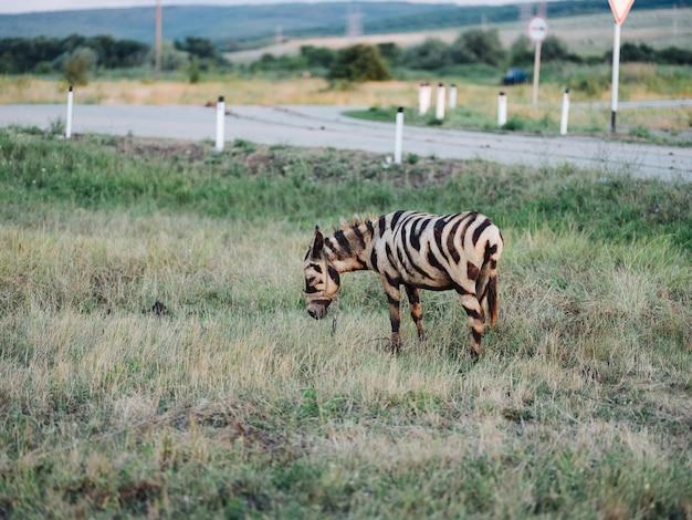 フィールドウォーク哺乳類アフリカ風景サファリのシマウマ
