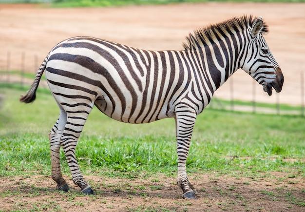 Зебра в поле