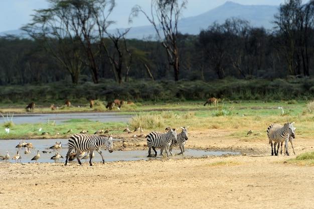 Зебра в озере национального парка. африка, кения
