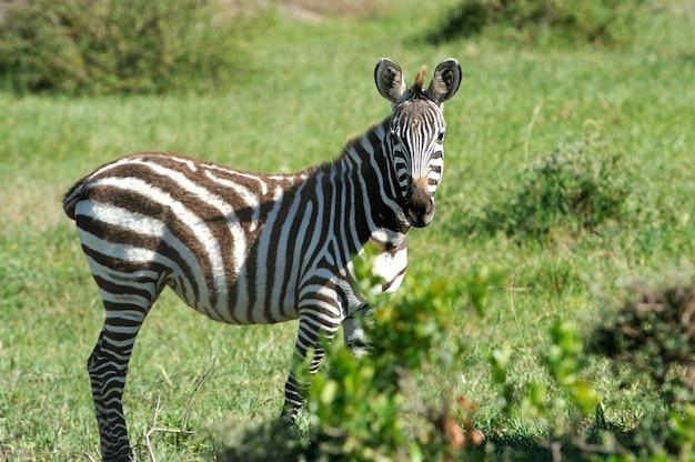 Зебра в национальном заповеднике африки, кения