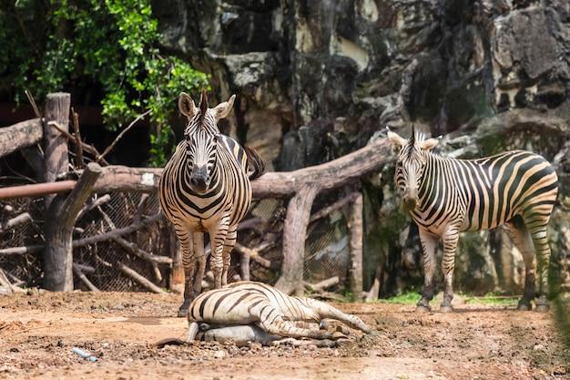 タイの動物園のシマウマ。
