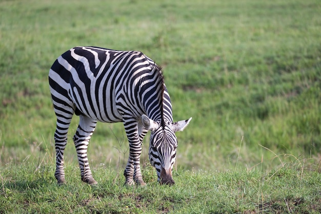 A zebra is grazing in the green landscape of a savannah