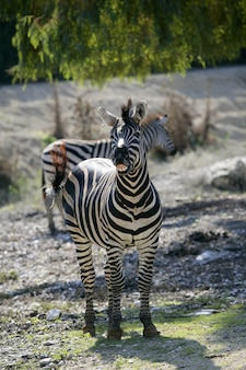 Zebra laughing, funny animal image
