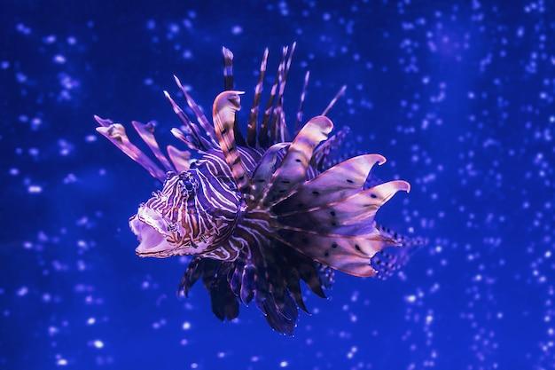 サソリ科pteroisvolitansのゼブラミノカサゴ有毒捕食魚