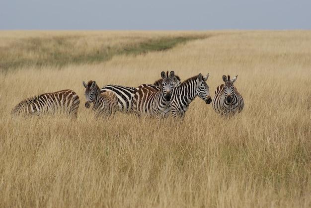 セレンゲティとマサイマラ国立公園の間のシマウマの移動